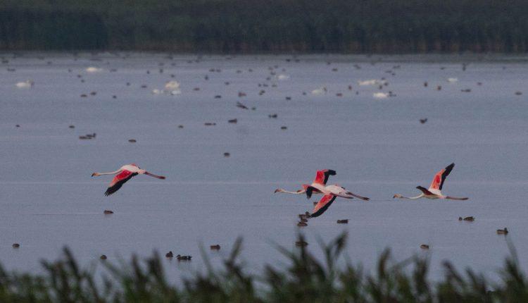 pasare_flamingo_delta_dunarii_2020